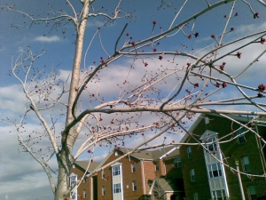 Trees budding